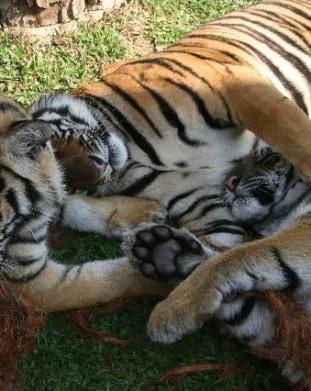 schroniska dla tygrysów, okolice Chang Mai