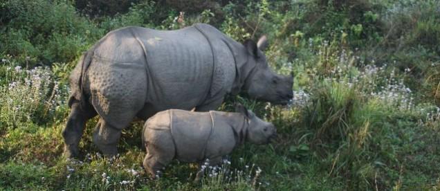 Nosorożce w Parku Narodowym Chitwan