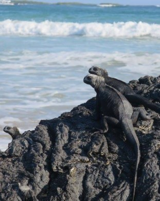 Legwany morskie na Galapagos w swoim naturalnym srodowisku
