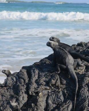 Legwany Morskie Galapagos