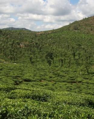 planatacje herbaty Indie Południowe