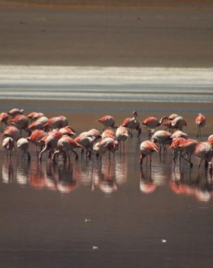 Salar de Uyuni - flamingi