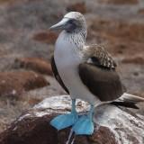 Gluptak niebieskonogi na Galapagos_wyprawa z Om Tramping Klub, fot. Tomek Tulak