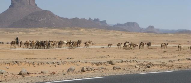 Jadac przez Sahare mijamy stada wielbladow - om tramping klub