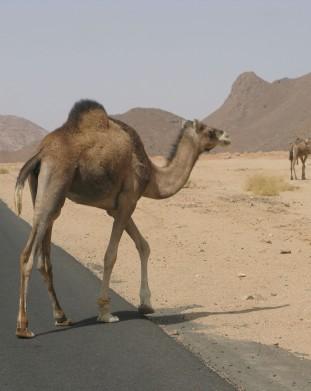 Klasyczny pejzaz na Saharze - wedrujacy wielblad - wyprawa z om tramping klub
