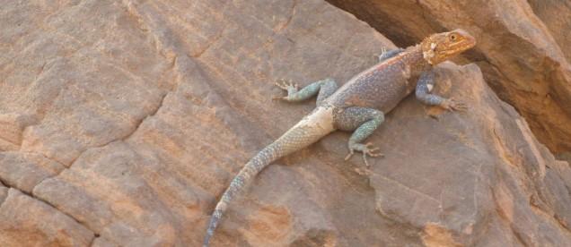 Jaszczurka na skale na pustyni Saharze - om tramping klub