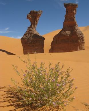 Rzadki widok na Saharze - kolorowe rosliny - om tramping klub