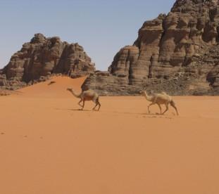 Biegnace wielblady na piasku Sahary