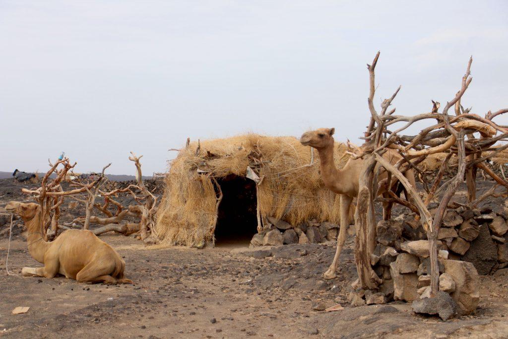 Proste szalasy Afarow z pustyni Danakilskiej w Etiopii